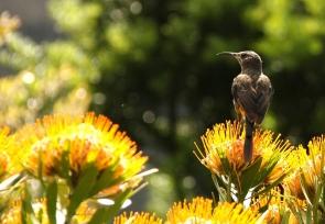 Cape Sugarbird/Promérops du Cap??