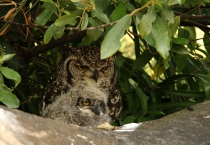 Spotted Eagle-Owl/Grand-Duc africain - JUNIOR
