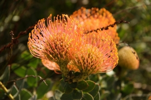 Pincushion Bobbejaanklou Leucospermum cordifolium (Luisiesboom) - Protée