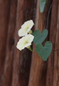Wild Petunia Ipomoea obscura obscura