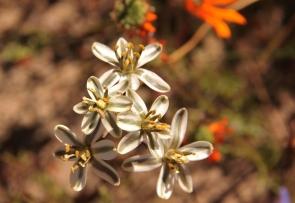 Ornithogalum polyphyllum /Hyacinth family