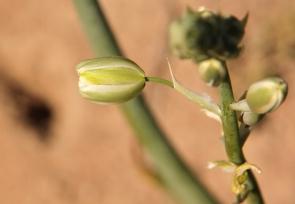 Albuca cooperi/Hyacinth family?