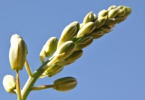 Albuca cooperi/Hyacinth family