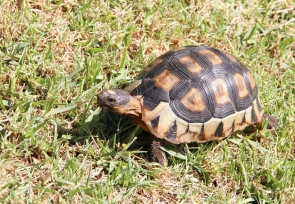 Angulate Tortoise
