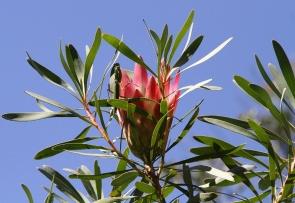 Protea  neriifolia et Mante religieuse