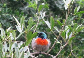 Greater Double-collared Sunbird???