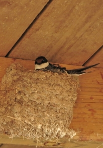 White-throated Swallow/Hirondelle à gorge blanche