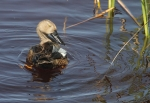 Cape Shoveler/Canard de Smith