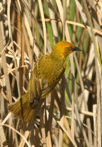 Cape Weaver/Tisserin du Cap mâle