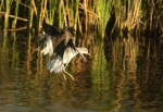 Common Greenshank/Chevalier aboyeur