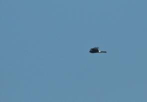 Black Harrier/Busard Maure