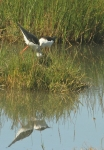 Black-winged Stilt/Echasse blanche