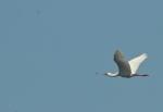African Spoonbill/Spatule africaine