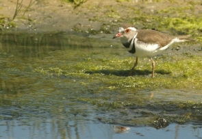 Three-banded Plover/Gravelor à triple colliers