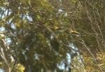 European Bee-Eater/Guêpier d'Europe