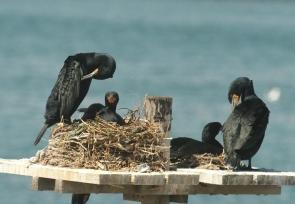 Cape Cormorant/Cormoran du Cap