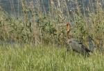 Goliath Heron/Héron goliath