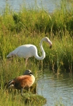 Greater Flamingo/Flamant rose+Egyptien Goose/Ouette d'Egypte