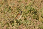 Cape Sparrow/Moineau du Cap
