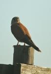 Rock Kestrel/Faucon crécerelle