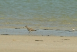 Common Whimbrel/Courlis corlieu