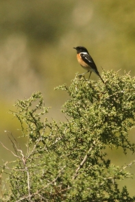 Cape Robin-Chat/Cossyphe du Cap