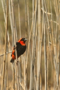 Southern Red Bishop/Euplecte ignicolore