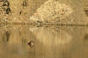White-backed Duck/Dendrocygne à dos blanc