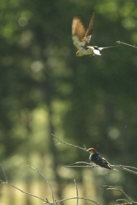 Greater-striped Swallow/Hirondelle à tête rousse