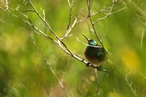 Southern double-collared Sunbird/Souimanga chalybée