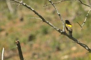 Yellow Bishop/Euplecte à croupion jaune