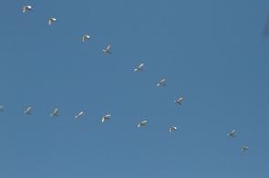Sacred Ibis/Ibis sacré