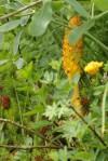 Orobanche du genêt (parasite, assez rare)/Orobanche rapum-genistae