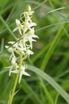 Platanthère verdâtre - Orchidacées / Platanthera chlorantha