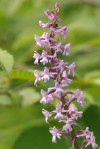 Orchis moucheron / Gymnadenia conopsea