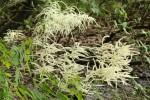 BARBE-DE-BOUC (Aruncus dioicus ( Rosacées ))