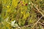 Sedum acre/Orpin âcre [Crassulaceae] /Sedum sexangulare