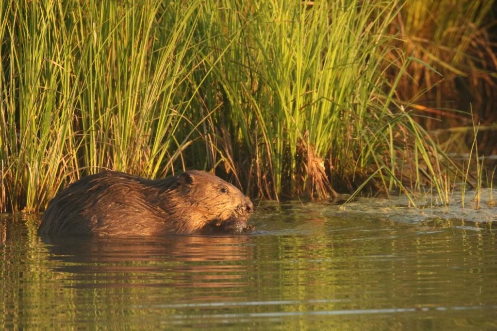 Castor fiber ou d'Eurasie/Eurasian Beaver