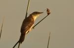Rousserolle effarvatte/Europeen Reed Warbler
