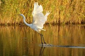 Grande Aigrette/Eur. White Egret