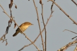 Pouillot veloce/Willow Warbler