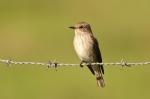 Gobemouche gris/Spotted Flycacher