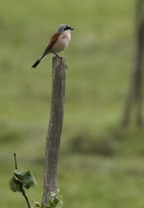 Pie-grièche écorcheur/Red-backed Shrike