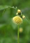 fleur - JAUNE