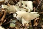 champignon - Tricholome (Mousseron de la St-Georges)