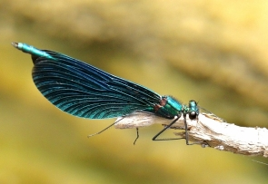 ODONATE - Calopteryx virgo