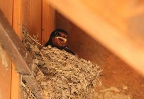 Hirondelle rustique/Barn Swallow