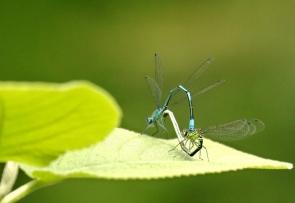 Libellule bleue - COENAGRION mercuriale