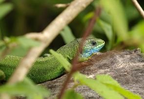 lézard vert (Europe de l'Est) / Lacerta viridis