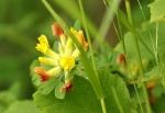 Lotier corniculé / Lotus corniculatus